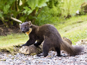 Pinemarten at Hillside Chalet self catering in Salen Ardnamurchan