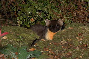 Pine Marten at Self Catering Chalet Salen Ardnamurchan Scotland