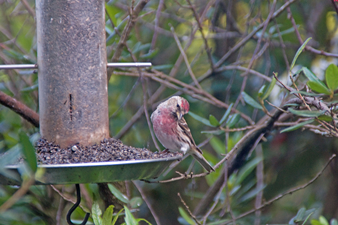 Redpoll garden visitor at Self Catering Chalet Salen Ardnamurchan Scotland