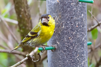 Siskin garden visitor at The Chalet self catering in Salen Ardnamurchan